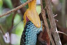 Eyelash Viper (Bothriechis Schlegelii) Eating A Lizard