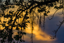 Tropical Background Of Spanish Moss And Leaves With Sunset Behind.