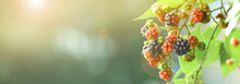 Ripening Blackberries On Branch Against Blurred Background, Closeup. Banner Design With Space For Text