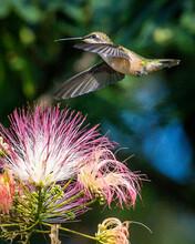 Hummingbird On A Mimosa Tree A...