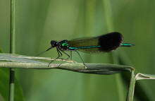 Ebony Jewelwing (Calopteryx Maculata) Sitting On A Piece Of Grass, Shot In Ontario, Canada.