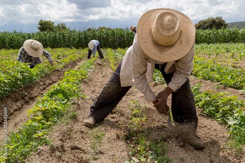 Photo hispanic farmers manual amaranthus planting in a Mexico's farming field