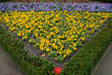 Garden And Landscaping. Decorative Design With Natural Texture. Floral. View Of Viola Odorata, Also Known As English Violet, Blooming Flowers With Red, Yellow And Purple Petals.
