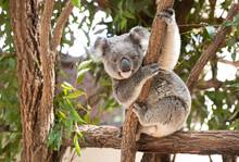 Koala Bear Sitting In A Tree Looking Face On