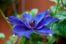 Purple Clematis Patens (Kamila) Flower.