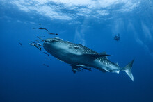 Giant Whale Shark Swimming Und...