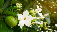 A Bouquet Of Pretty White Petals Of Suicide Tree, Called In Other Name Are Pong Pong And Othalanga Tree, A Beautiful White Petals Blooming On Green Leaf And A Green Raw Round Fruit Background