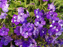 Groundcover Of Pink Petunias 'Night Sky', Deep Purple Color And White Flecks Creating An Effect Of Starry Night Sky