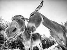 Donkey Head In Black & White