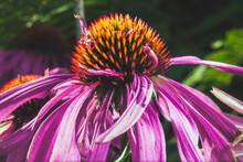 Macro Photo Of Echinacea. Side View.