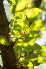 White Mulberry Hanging On A Branch