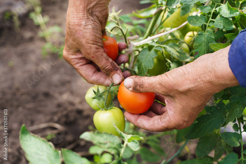 Fotografija The farmer's hands are holding tomatoes