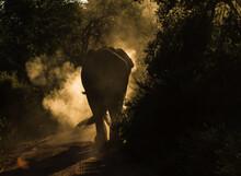 An Elephant Bull Walking Into ...