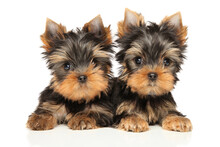 Two Yorkshire Terrier Puppies Lie