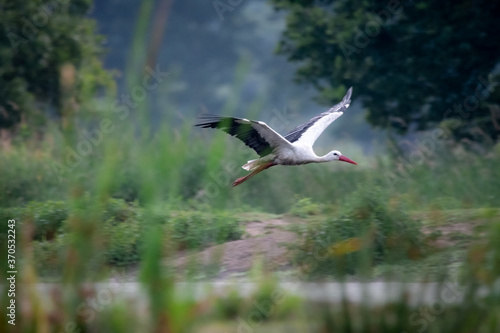 Obraz Bocian biały stork - fototapety do salonu
