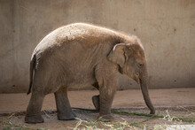 Young Asian Elephant Calf Walking On Sand