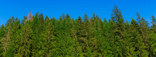 Green Pine Tree Forest And Clear Blue Sky