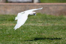 Little Corella Cockatoo Flying Over The Grass
