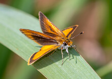 Least Skipper (Ancyloxypha Numitor)