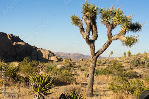 Landscape of oddly beautiful joshua tree in  national park with changing terrain and colorful in this harsh desert of California, top destination for travel, nature and beauty  organic Wallpaper Mural