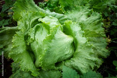 Fototapeta fresh iceburg lettuce salad vegetable obraz