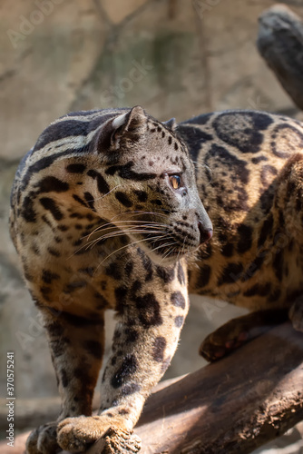 Fotografía clouded leopard