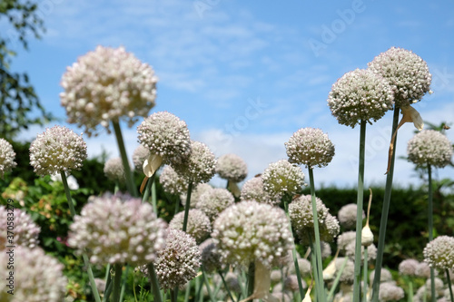 Broadleaf wild leak or elephant garlic in flower during the summer months Canvas Print