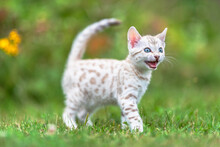 A White Snow Bengal Kitten Out...