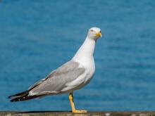 Seagull Yellow Legged Perched Sea Background Larus Michahellis