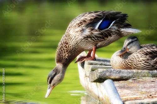 Dzikie kaczki krzyzówki