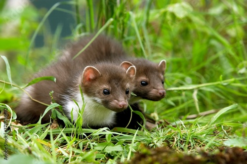 Stampa su Tela Stone Marten or Beech Marten, martes foina, Youngs standing on Grass, Normandy