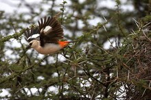 White Headed Buffalo Weaver, Dinemellia Dinemelli, Adult Taking Off From Acacia Branch, Kenya