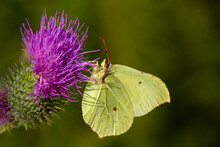Gonepteryx Rhamni (known As The Common Brimstone) Is A Butterfly Of The Family Pieridae. It Lives Throughout The Palearctic Zone And Is Commonly Found Across Europe, Asia, And North Africa.