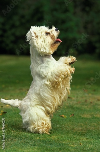 Photo West Highland White Terrier, Adult playing, Standing on Hind Legs
