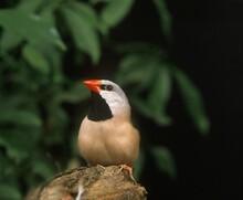 Black Throated Finch, Poephila Cincta, Adult