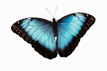 Blue Morpho, Morpho Peleides, ...