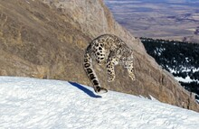 Snow Leopard Or Ounce, Uncia Uncia, Adult Leaping On Snow