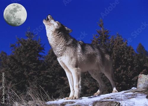 Fototapeta European Wolf, canis lupus, Adult Howling at the Moon obraz na płótnie