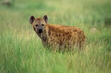 Spotted Hyena, Crocuta Crocuta...