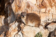 Rock Hyrax Or Cape Hyrax, Procavia Capensis, Adult Standing On Rocks, Hermanus In South Africa