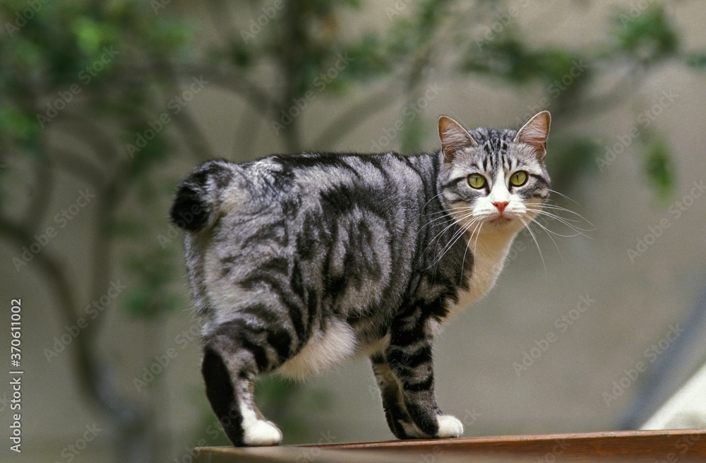 Fototapeta Japanese Bobtail Domestic Cat, Adult