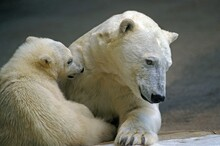 Polar Bear, Thalarctos Maritimus, Female With Pup