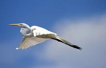 Great White Egret, Casmerodius...