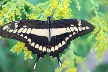 Giant Swallowtail Butterfly. Big Butterfly Collecting Pollen On Flowers