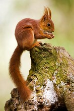 Red Squirrel, Sciurus Vulgaris...