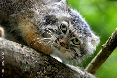 Manul or Pallas's Cat, otocolobus manul, Portrait of Adult Canvas