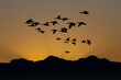 Cape Cormorant, phalacrocorax capensis, Group in Flight at Sunset, Seal Island in False Bay, South Africa
