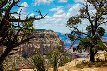 Pine Tree In The Grand Canyon