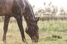 A Wet Horse With Raindrops Running Down On Fur. A Horse Standing In A Green Pasture During A Downpour Rain.