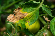 Manifestations Of Late Blight On Tomato Leaves. Fungal Disease Of Tomatoes.